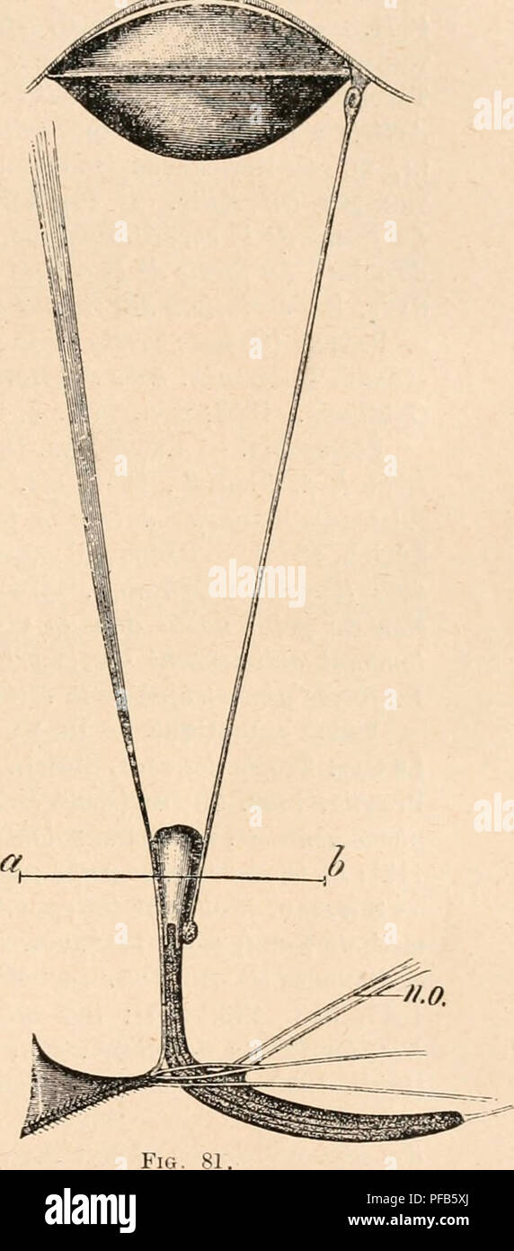 . Dictionnaire de physiologie. Physiology. DIOPTRIQUE OCULAIRE. 127 les belles expériences de F. Plateau) qu'à percevoir des mouvements, la perception des formes paraissant faire défaut chez ces animaux. 76. L'Åil de Copilia (un copépode) est bien fait pour démontrer qu'il ne suffit pas que les détails anatomiques semblent se prêter à la formation d'une image (renversée) pour qu'on puisse admettre qu'une telle image soit réellement perçue. Un cristallin (fig. 81) biconvexe ferme en avant l'Åil, large espace rempli d'une masse transparente. Très loin en arrière, vers ab, il y a un cà Stock Photo