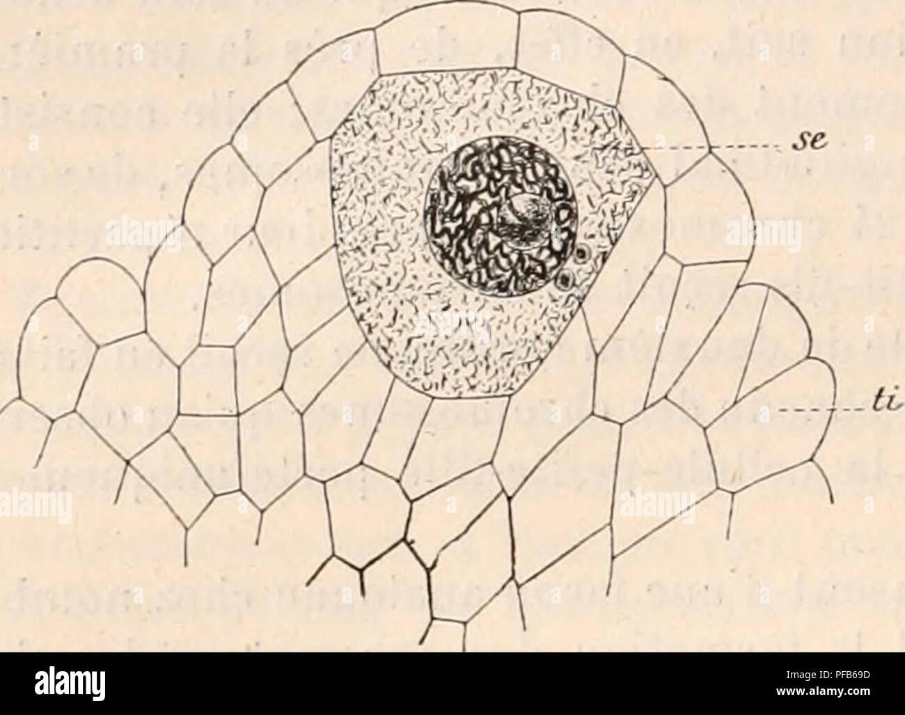 . Dictionnaire de physiologie. Physiology. >so FECONDATION. distal prend la forme d'un anneau. Les enveloppes protoplasmiques paraissent pro- venir du corps cellulaire, qui semble couler, pour ainsi dire, le long du filament axial (fig. 42 et 43). En résumé, de par son origine, et malgré sa structure compliquée et la quasi spontanéité de ses mouvements, le spermatozoïde 7i'est qu'une cellule dont le notjau possède une fraction de chromatine en comparaiiion du noyau d'une cellule somatique. IV. Valeur cellulaire de l'ovule. â A. Oosphère ou ovule des végétaux supérieurs (Angiospe - Stock Image