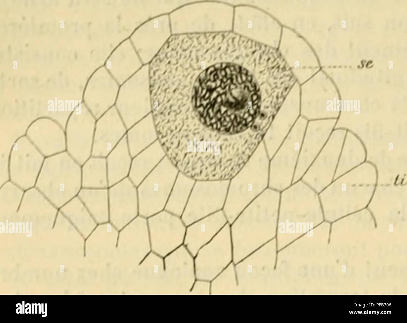 . Dictionnaire de physiologie. Physiology. 2o0 FECON DATION. distul proiid la {ovine, d'un annoau. Lfs enveloppas [iiotoplastniqucs paraissent pro- venir du eor[)S cellulaire, (|iii semble couler, pour ainsi dire, le ion;.' du lilameiil axial (fig. 42 et '?:»). Kfj résuma, il£ par son origine, et malgré sa structure co/upfirjuce cl la (/uasi spontan&ité de ses mouvements, le 'ipermatozoi.de n'est ffti'unc cellule dont le noyau possède une frarlian de chromatine en comparaison du noi/au d'une cellule somalirpie. IV. Valeur cellulaire de l'ovule. — /i.Ooaphére ou ovule des végétaux supérieur - Stock Image