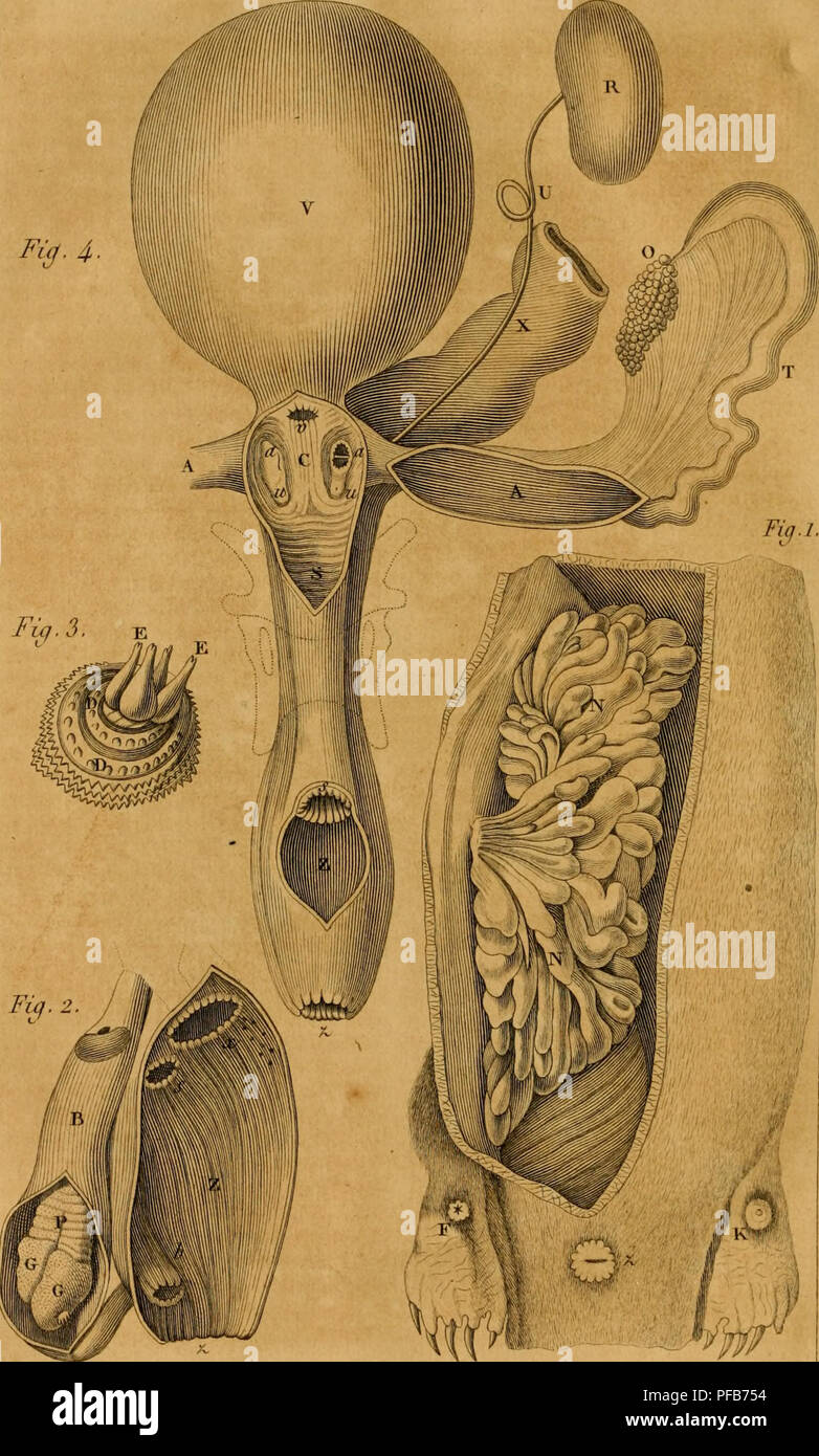 . Dictionnaire classique d'histoire naturelle. Natural history. VaathLer ,kl et dir A'apri* Muet. ANATOMIE DE L' ORNITHORHYNQUE .â¢â es Geoffroy S.[HUcare et J!celui. Please note that these images are extracted from scanned page images that may have been digitally enhanced for readability - coloration and appearance of these illustrations may not perfectly resemble the original work.. Bory de Saint-Vincent, M. (Jean Baptiste Geneviève Marcellin), 1778-1846; Tippmann Collection (North Carolina State University). NCRS. Paris, Rey et Gravier, Libraries-Editeurs, Auai des Augustins, no. 55; Baudo - Stock Image