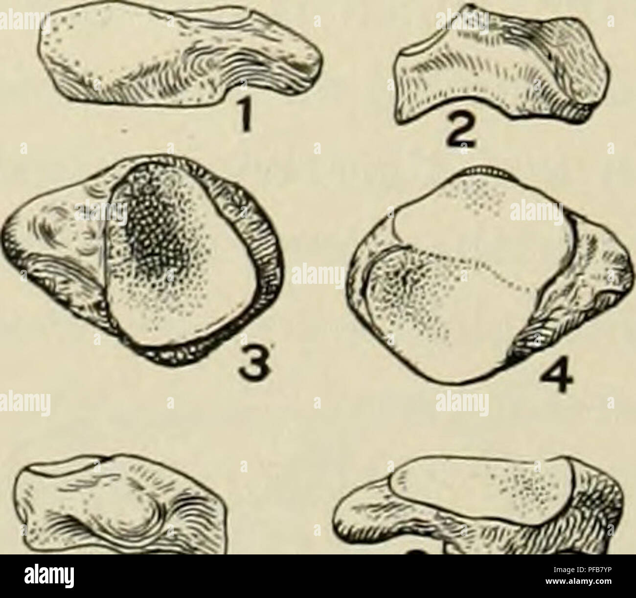 . Description of new carnivores from the Miocene of western Nebraska. Carnivora, Fossil; Paleontology; Paleontology. 236 MEMOIRS OF THE CARNEGIE MUSEUM face of the bone, and furnishes muscular attachment for Mc.V, but does not articu- late with the latter as in the dogs. The facets for ti@$>0m KS mj the ulna and pisiform on the proximal face are sub- equal in size and are separated by a prominent ridge, J, the former being more concave antero-posteriorly sp Mr than the latter. In the dogs the facet for the ulna is 4 different, being more sinuously curved, with an antero- posterior cavity o - Stock Image