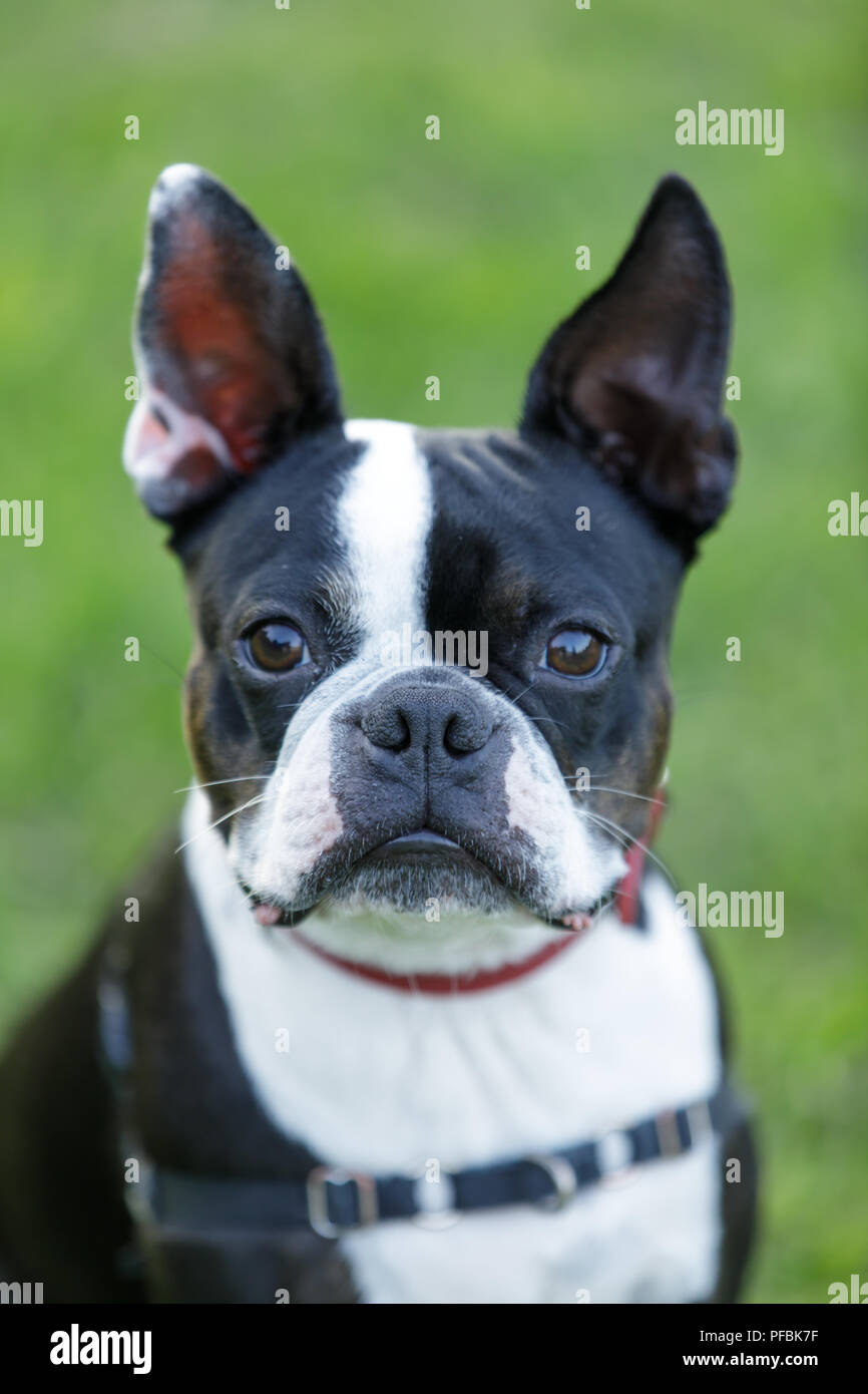 Boston Terrier Close-up. - Stock Image