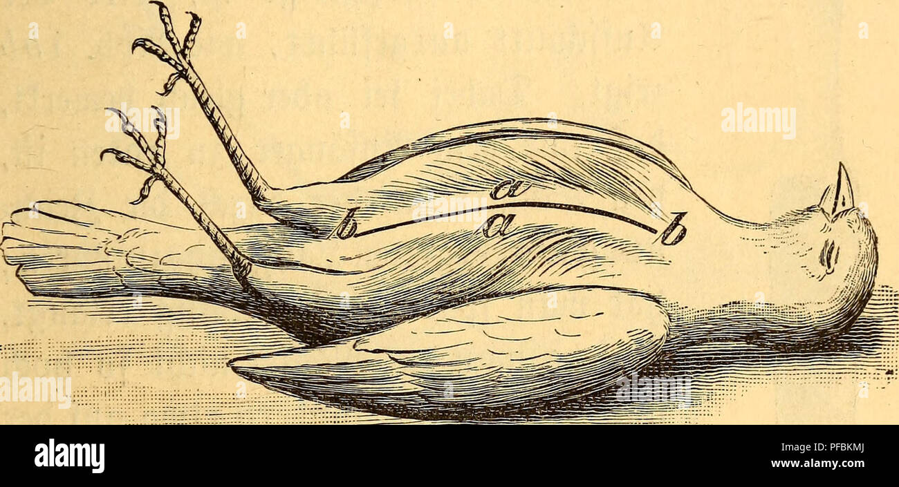 . Der Präparator und Konservator : eine praktische Anleitung zum Erlernen des Ausstopfens, Konservierens und Skelettierens von Vögeln und Säugetieren für Naturfreunde. Zoological specimens; Birds; Mammals. 17 ©oll alfo bcr SSfaffdjnttt unter Dem 23aud)e ge* fdjdjen, fo tft ber 95ogcl fo mit bem SRücfcn auf eine Unterlage t)on Sßattc ju betten, baf$ bie Seine bem Präparator jugetoanbt ftnb, tote W)b. 1 jeigt. Wit ipülfe einer ftarfen 9?abel ober eines $ßfricmen§ toirb ba§ ©eficber auf Skuft&em unb $8anti) forg* fältig §ur ©eite gehoben, toa§ fid) oljne ©djtoierig*. »68* t aa Mofgelegter geb - Stock Image