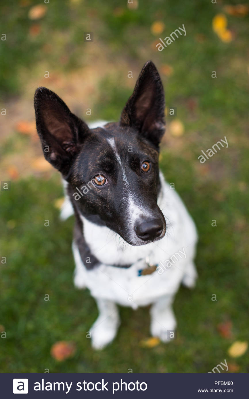 Brown eyed black and white dog with big ears sitting on grass and looking up