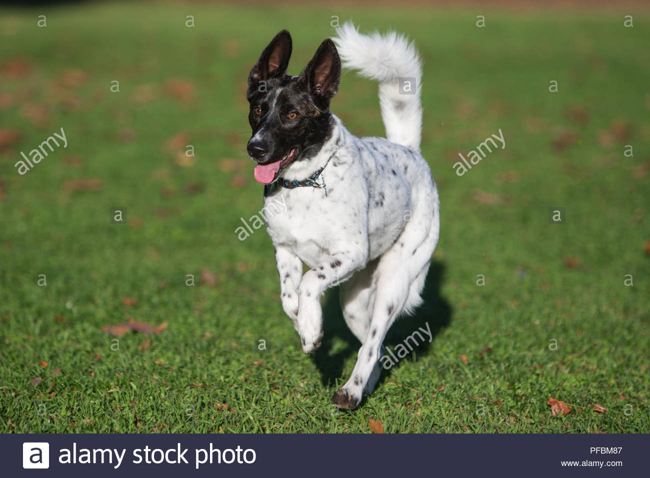 Smiling black and white dog with spots running over grass stock image