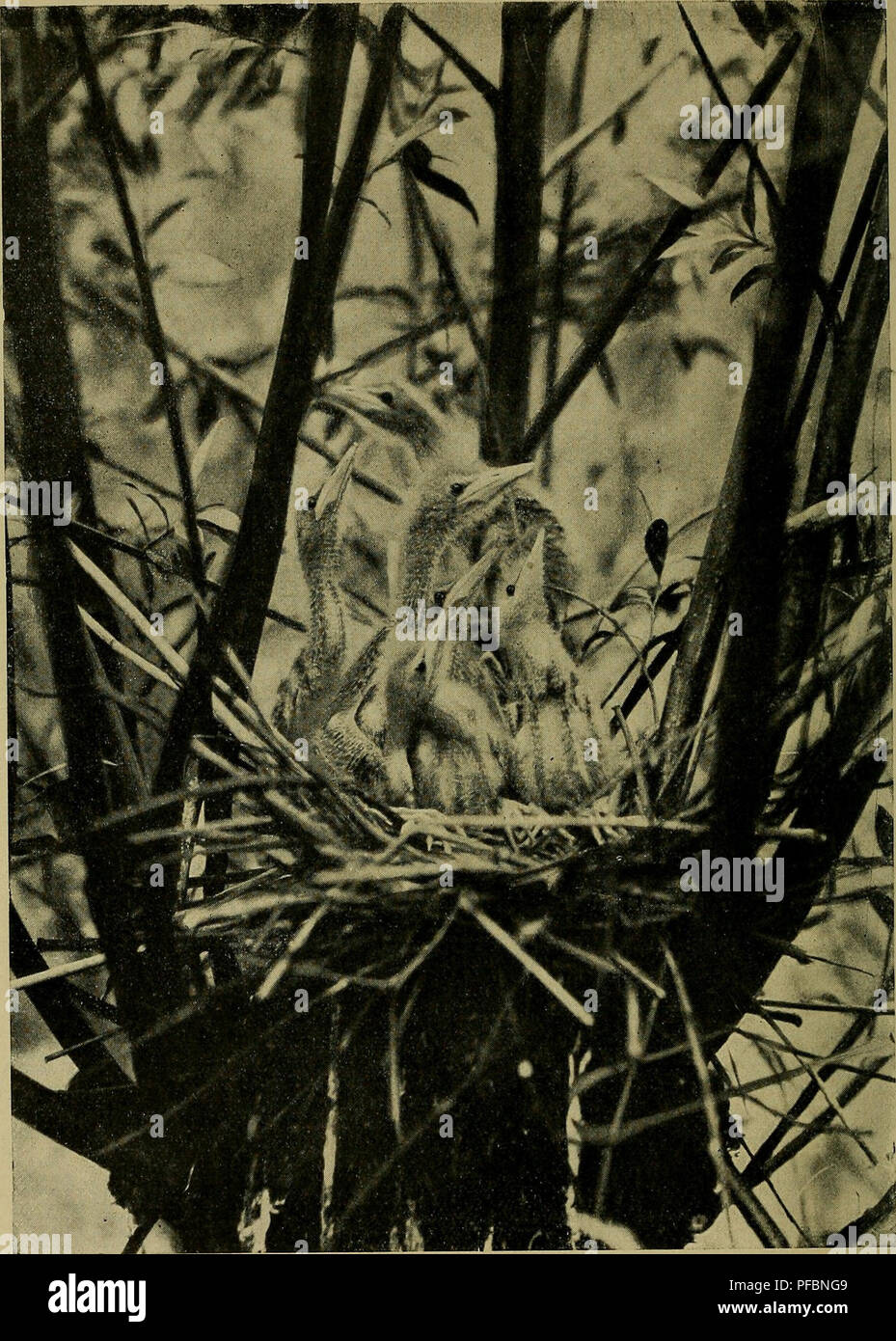 ". Der Ornithologische Beobachter. Ornithology; Birds. Junge Zwergrohrdommeln (Ardetta minuta). Nest am Bielersee. Beilage zum ""Ornithologischen Beobachter^', Heft o, 1921/2: 0 fi, C. Z6INQENS0«, flAsa. Please note that these images are extracted from scanned page images that may have been digitally enhanced for readability - coloration and appearance of these illustrations may not perfectly resemble the original work.. Ala, société suisse pour l'étude des oiseaux et leur protection. [Bern? : Ala, Schweizerische Gesellschaft für Vogelkunde und Vogelschutz] - Stock Image"