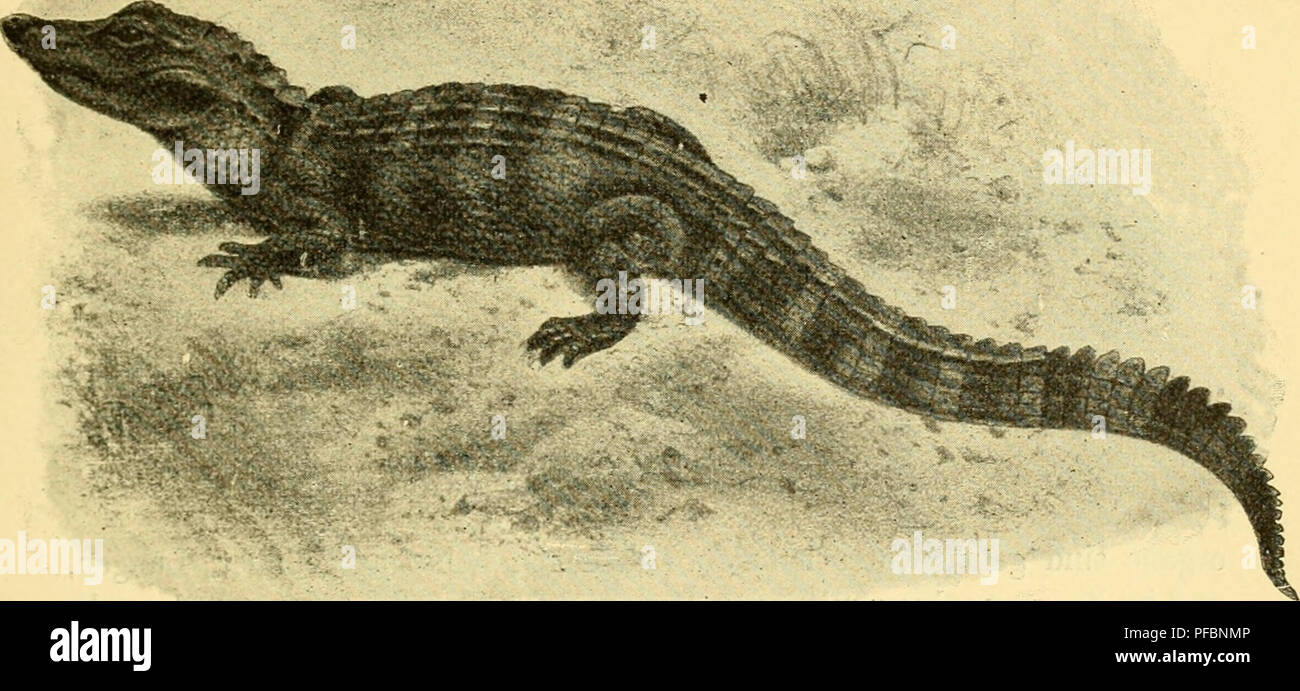 . Der Mensch, sein Ursprung und seine Entwicklung, in gemeinverständlicher Darstellung. Human beings; Evolution. W. Leehe: Der Mensch. 47 verbleiben bei diesen Wassertieren (Meeresschüdkröten, Krokodüe, Wale) Lungen; im Wasser können sie nicht atmen. Hiermit steht in Zusammenhang, daß diese höchsten Tierformen sich durch den Erwerb einiger Organe auszeichnen, welche im Gegensatz zu den Körperteilen, welche auch beim erwachsenen Individuum wirksam und nützlich sind, als Embryonalorgane bezeichnet werden können, da sie ledig- lich ^Bedeutung — und zwar eine große — für den Embryo haben. Im folge Stock Photo