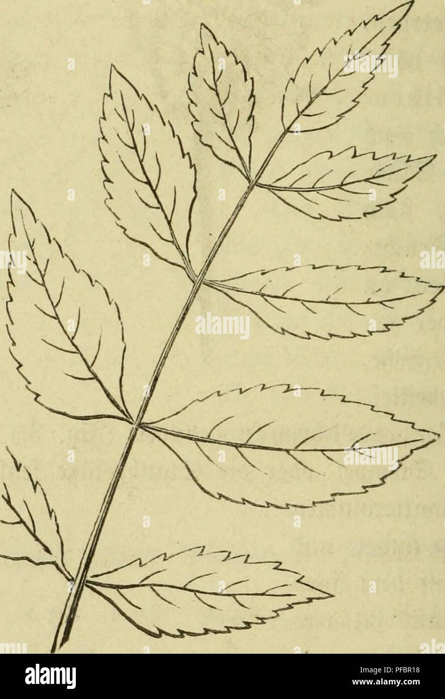 . Der Führer in die Pflanzenwelt. Hülfsbuch zur Auffindung und Bestimmung der wichtigsten in Deutschland wild wachsenden Pflanzen. Plants. 64 :^rtt. — I. 53äume mib @träud;er. 16—29. ^tg. 6. ^eigt un§ eine ^rui^t in natürü^er ©röge. Sie ift eine flac^ jnfammengebrücfte, einfamige 9^6, mld)e an ber @pi^e in einen Mattartigen i^tügel verlängert ift, unb erft im §erbfte reift. ®en ©amen jeigt gig. 7. ®ie 331ätter ber (gfc^e finb gefiebert (pinnata). 3)iefe im ?5f(anjett= reiche l^änfige, fd;Öne, befonber^ ben inärmeren 3oncn ange^^orenbe 33tatt= form betrachten mir nä^er. ^ig. 8. ertäntert fte un - Stock Image