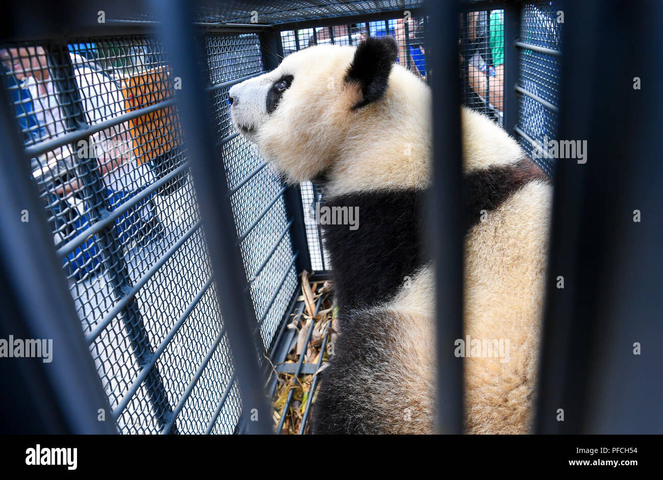 Changchun, Jilin, China, 21th August 2018. Two sub-adult female giant pandas, Chuxin and Muyun, just two years old, left the Dujiangyan base of the China Giant Panda Conservation Research Center to settle down in the Northeast Tiger Garden in Jilin Province. Credit:Costfoto/Alamy Live News - Stock Image