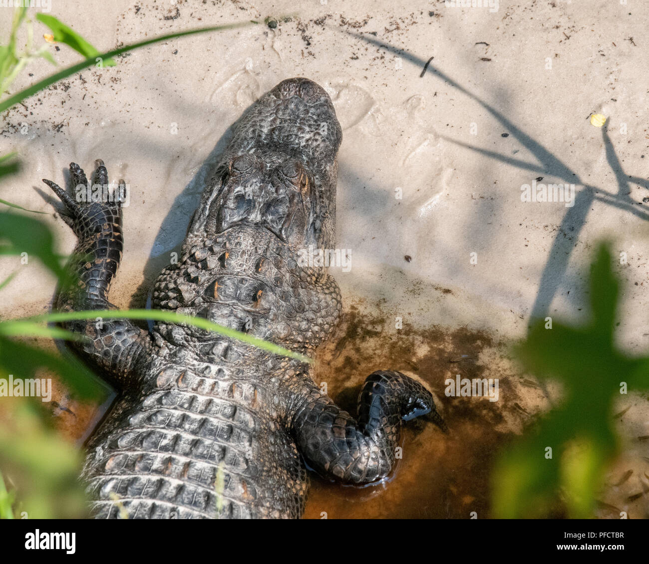 American Alligator feeding in a North Carolina swamp - Shalotte - near South Carolina - Stock Image