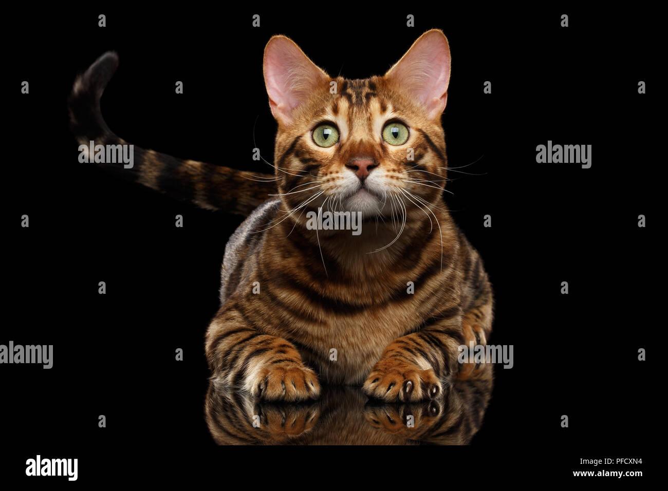 Pedigree Cat Show Stoc...