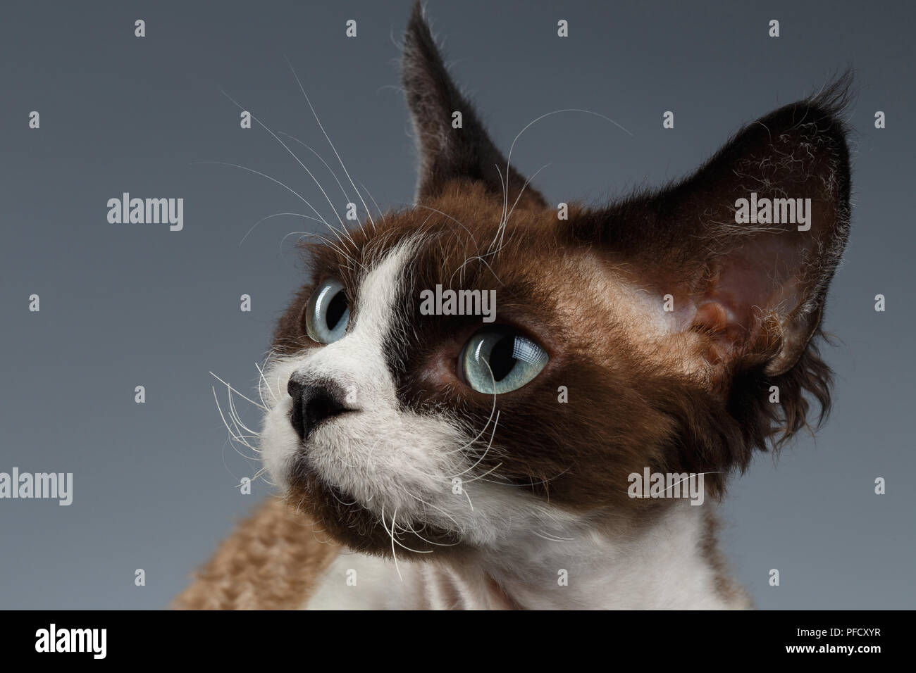 Closeup Portrait of Devon Rex Looking at left on Gray background - Stock Image