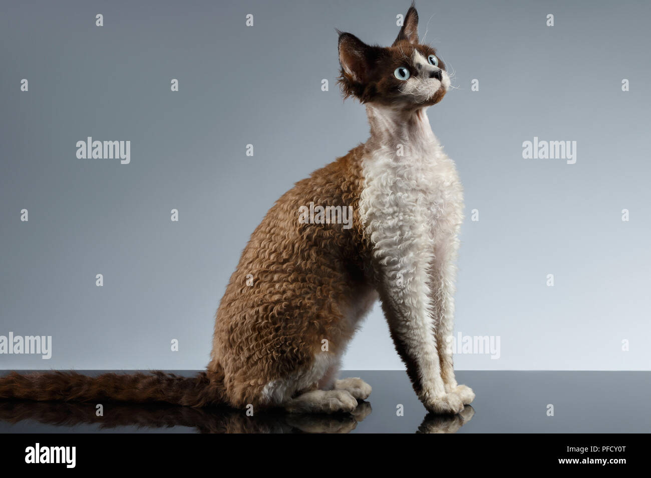 Funny Devon Rex Sits in Profile view on Gray background - Stock Image