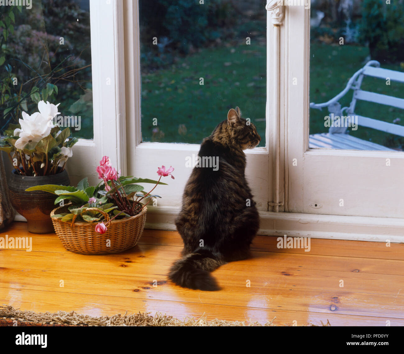 Grey Domestic Cat (felis catus catus) sitting by living room window, rear view - Stock Image