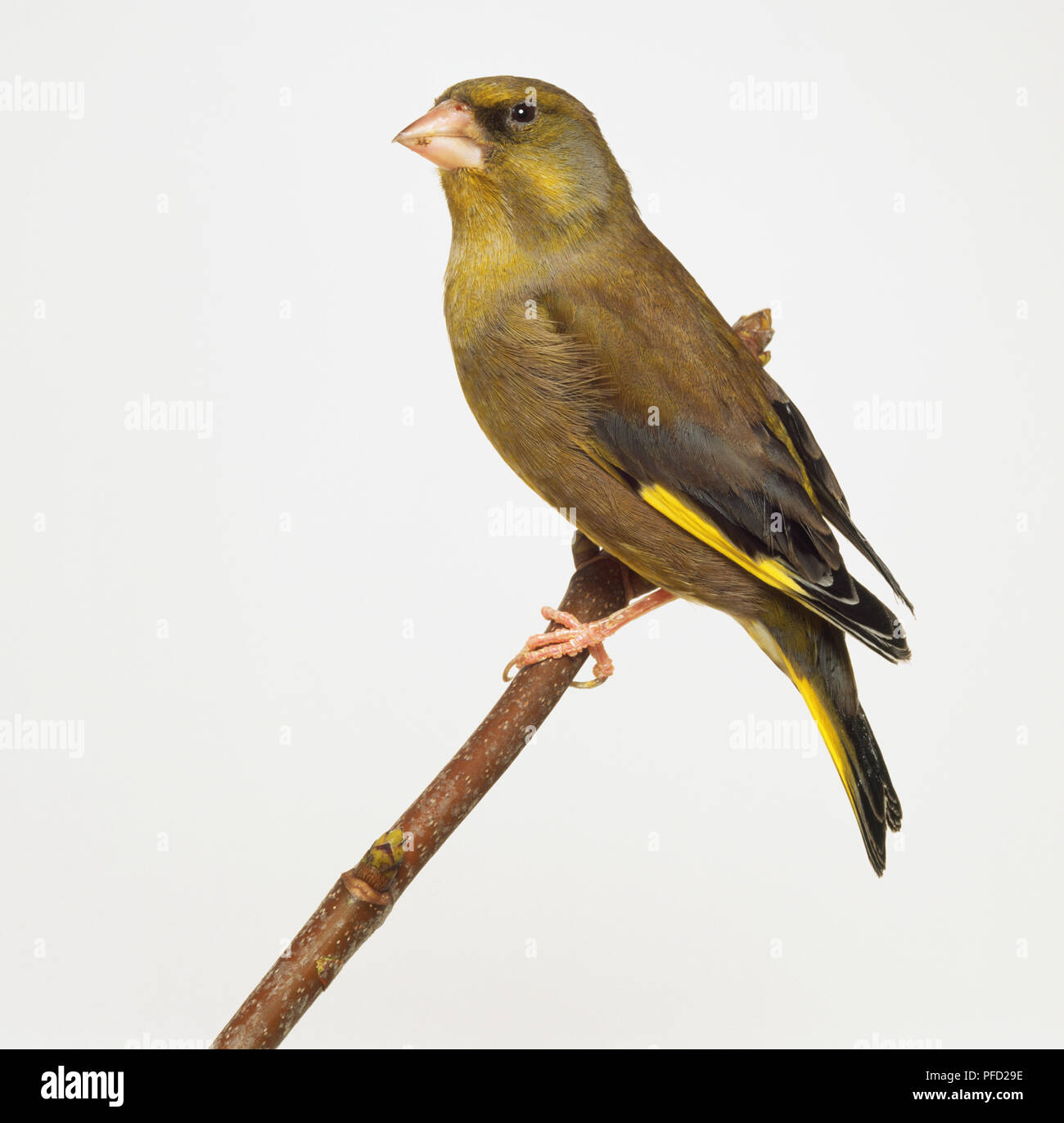 Side view of a European Greenfinch with head in profile, perching on a narrow branch, showing dull olive plumage, yellow wing bar and yellow tail edge. - Stock Image