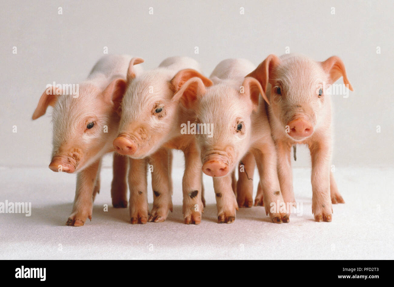 Three pink piglets. - Stock Image