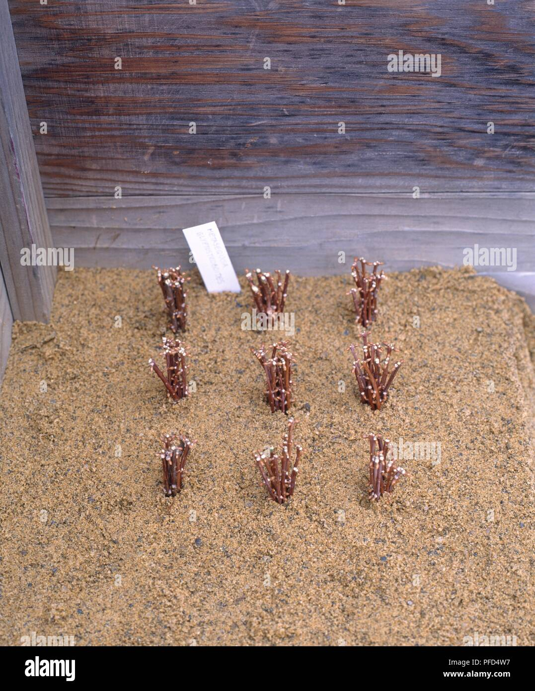 Bundles of Metasequoia (Dawnwood) cuttings inserted into a sand bed ...