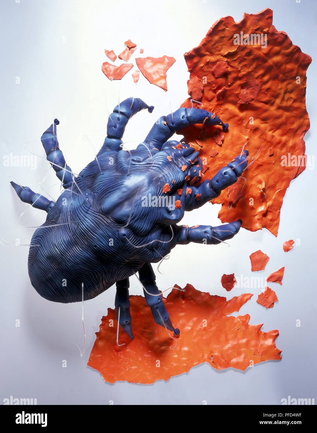 Model of House Dust Mite (Dermatophagoides pteronyssinus), view from above Stock Photo