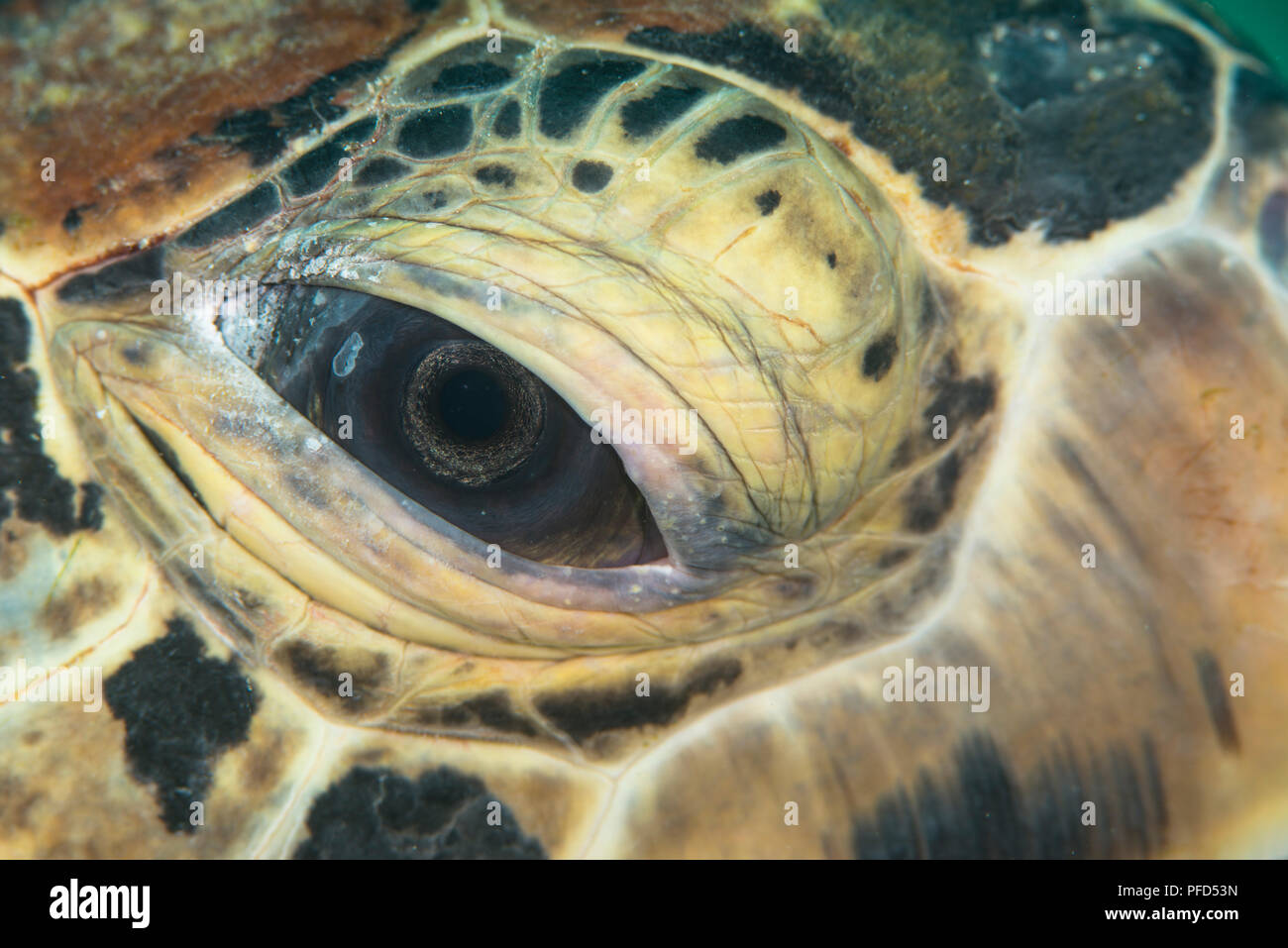 Underwater macro abstract photo of the eye of a green sea turtle at Mabul Island, Sabah, Malaysia - Stock Image