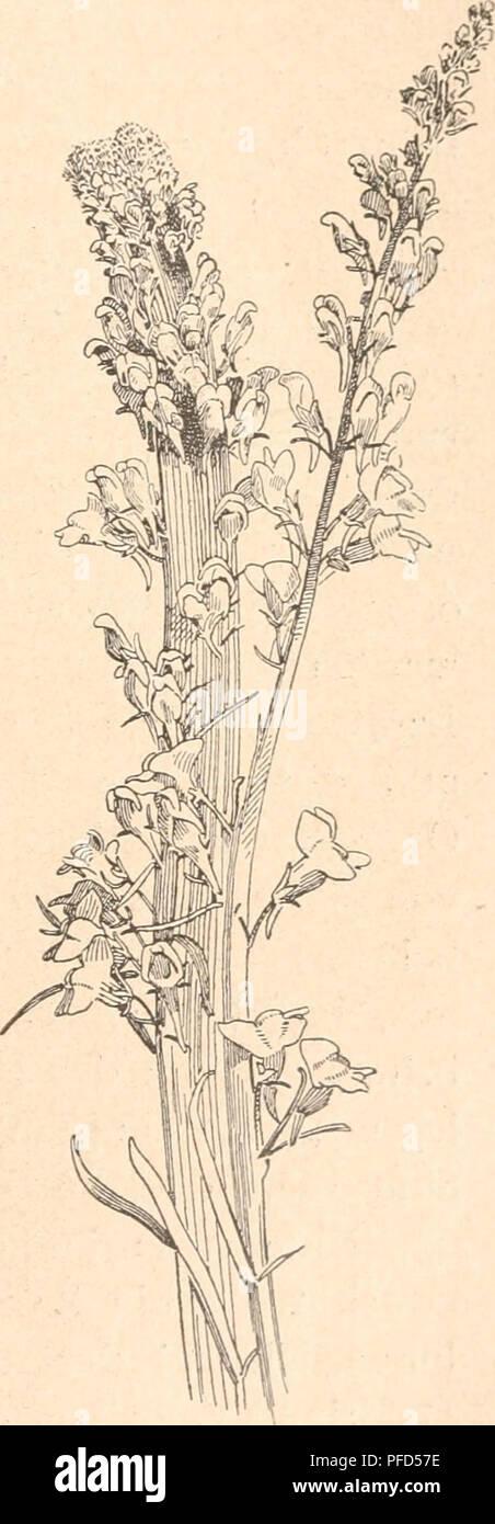 . Das werden der organismen zur widerlegung von Darwins zufallstheorie durch das gesetz in der entwicklung. Evolution; Life. Fig. 51. Fapaver somniferum polycephalum mit vollem Kranz in Pistille umgewandelter Staubgefäße. Nach Masters aus de Vries. Fig. 52. Papaver som.niferum. polycephalum. mit wenigen in Pistille umgewandelten Staubgefäßen. Fig. 53. Liuaria vulg'aris (Leinkraut) mit verbänderten, blühenden Stengeln, nach de Vries. Wandlung betroffen worden sind, oder sie wird wenigstens sehr stark beschränkt, wenn die Umwandlung, wie in vielen Fällen, nur eine teilweise ist. Dann finden sich Stock Photo