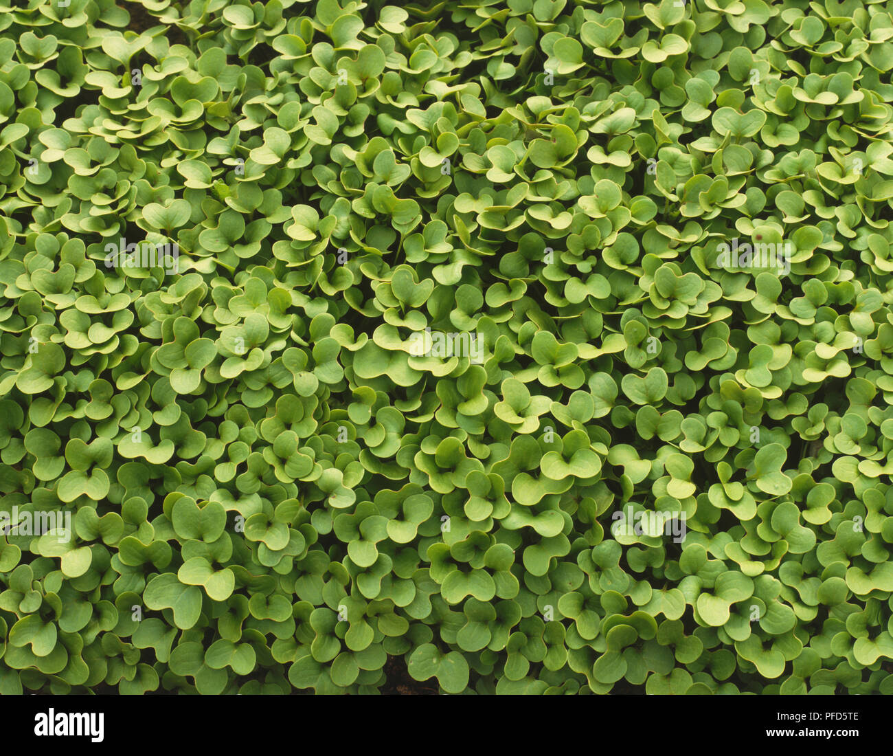 Bed of Brassica hirta, White Mustard, close up, view from above - Stock Image