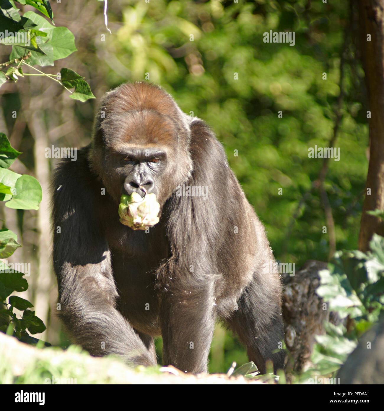 Gorilla at Melbourne Zoo. Melbourne - Stock Image