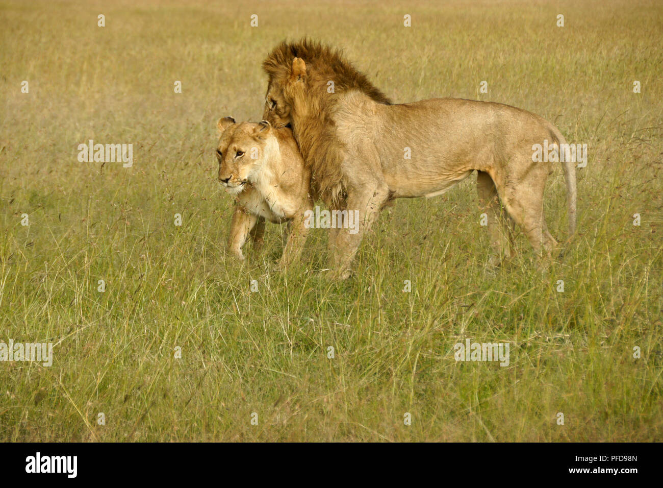 Lions preparing to mate in long grass, Masai Mara Game Reserve, Kenya - Stock Image