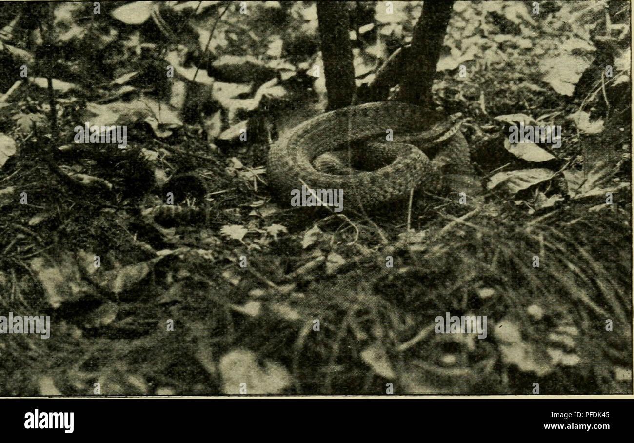 . Der deutschen Heimat Kriechtiere und Lurche. Reptiles; Amphibians. Vipera berus (L.), Kreuzotter (Weibchen in Ruhelage) wohl um ihre Verschleppung durch Reisig, Streu, Schutt und dergl. handeln. — Die von der Glatten Natter be- wohnten Lokalitäten meidet sie im allgemeinen; jedoch nie regelmässig und man kann vereinzelt beide Schlangen an ein und demselben Ort antreffen. Beispielsweise habe ich an mehreren engbegTenzten Gebieten in der Umgebung meines Wohnortes die hier vorkommenden drei Schlangenarten: Kreuzotter, Glatte Natter und Ringelnatter gleichzeitig gefunden, in einem Fall sogar auf Stock Photo