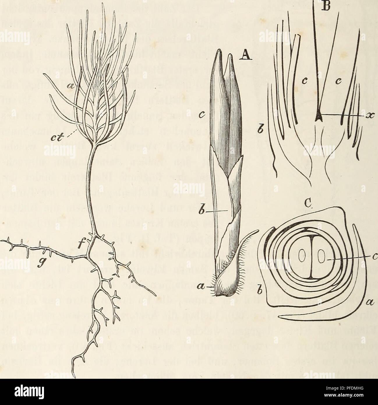 . Der baum. Trees; Plant physiology. 54 Keimung der Nadelhölzer. Das aus der Stammknospe (der Plumula) entstandene Pflänzchen trägt einfache Blätter oder Nadeln (s. Fig. 49), mit einem centralen Gefäfsbündel und zwei Harzgängen versehen; der Trieb des zweiten Jahres entfaltet dagegen Doppelnadeln, welche aus einer Knospe entstehen, die sich in der Achsel des eigentlichen Blattes entwickelt; das letztere aber bleibt in die- sem Falle schuppenartig und dient der Knospe als Deckschuppe (Taf. II. Fig. 21 u. 22). Nur wenn die junge Kiefer bisweilen schon im ersten Fig. 49. Fig. 50.. Fig. 49. Die Ke Stock Photo