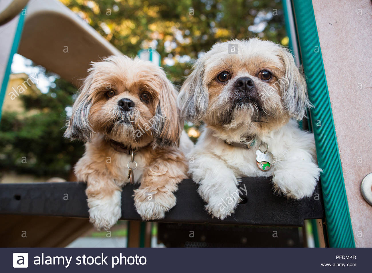 Two Alert Shih Tzu Dogs Laying Down On Child Play Set Looking Out