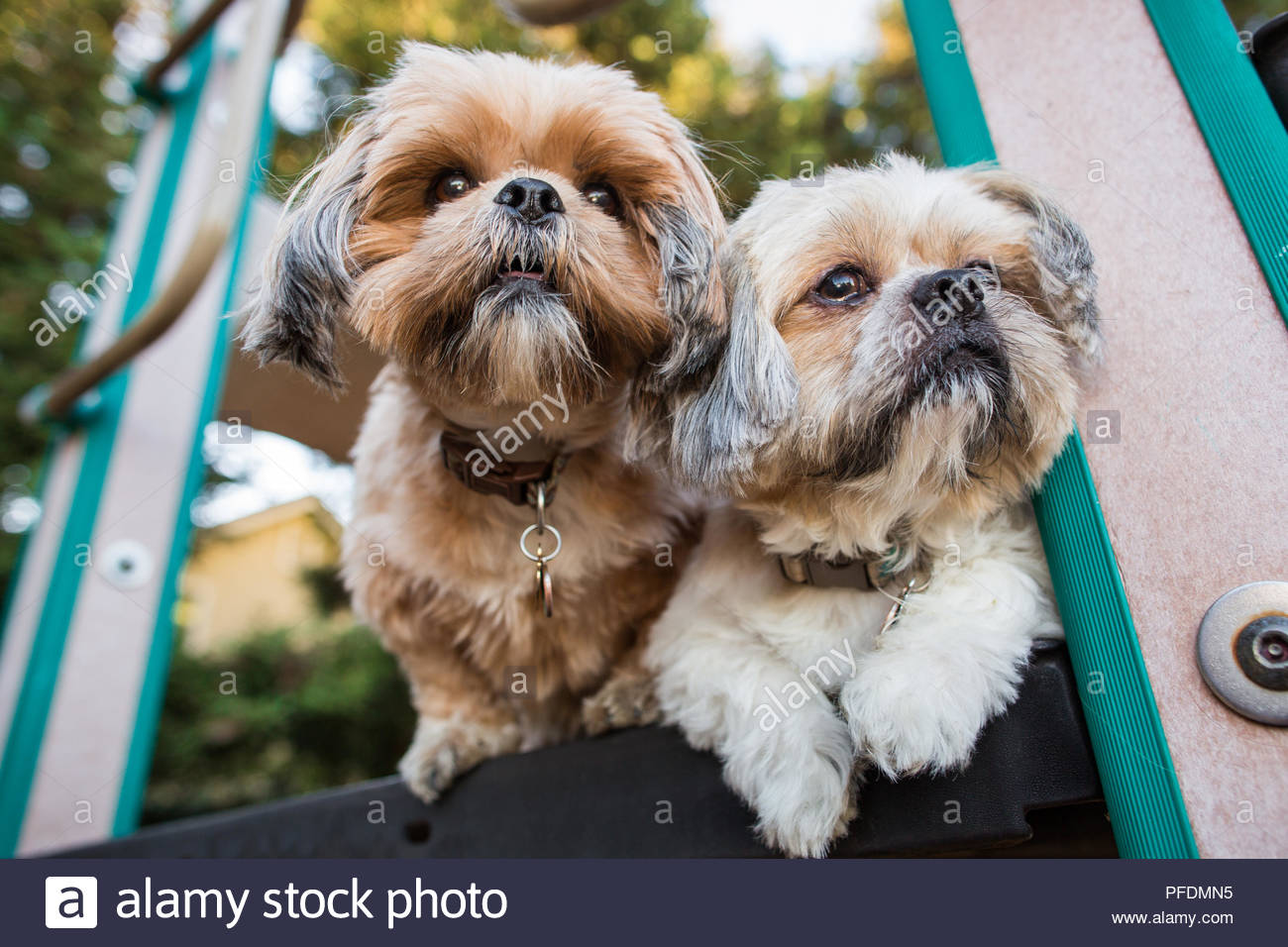 Two Alert Shih Tzu Dogs On Child Play Set Looking Out Stock Photo