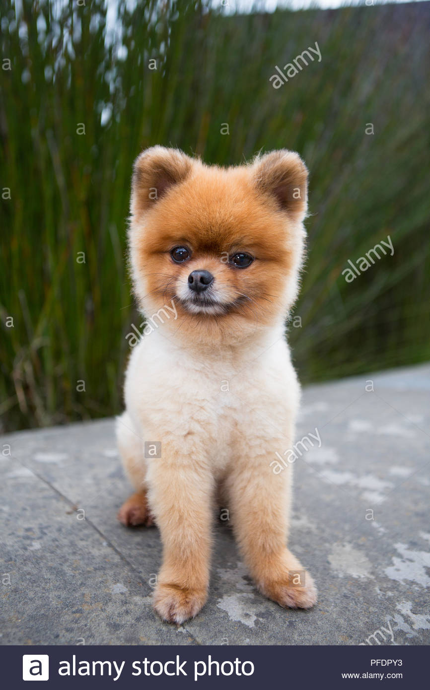 Cute Pomeranian With Teddy Bear Cut Sitting In Front Of Green Grass