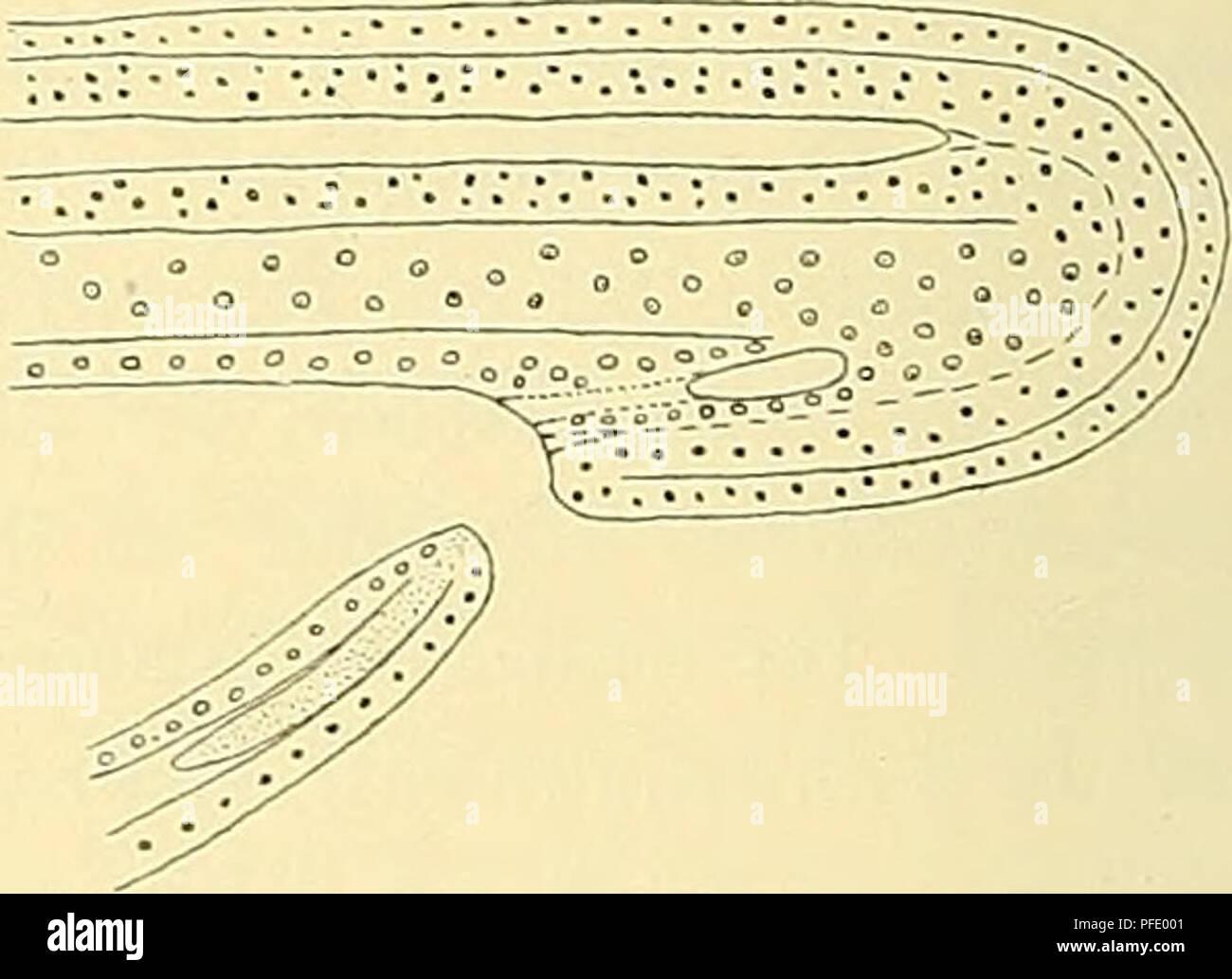 . Denkschriften der Medicinisch-Naturwissenschaftlichen Gesellschaft zu Jena. . Fig. 259 A-C. eine Uebereinstimmung zwischen den untersuchten Formen, als ein Canalis neurentericus nicht zur Anlage kommt, sondern nur ein neurenterischer Strang, dessen ventrale Wand vom Ektoderm gebildet wird. — Dageg'en weisen die Teleostier in der sogenannten KuPFFER'schen Blase ein vielbesprochenes Verhalten auf, über deren morphologische Bedeutung die Meinungen bekanntlich sehr getheilt sind. — Wie insbesondere die eingehenden, in Folge der Zugänglichkeit des Materiales leicht zu bestätigenden Untersuchungen Stock Photo