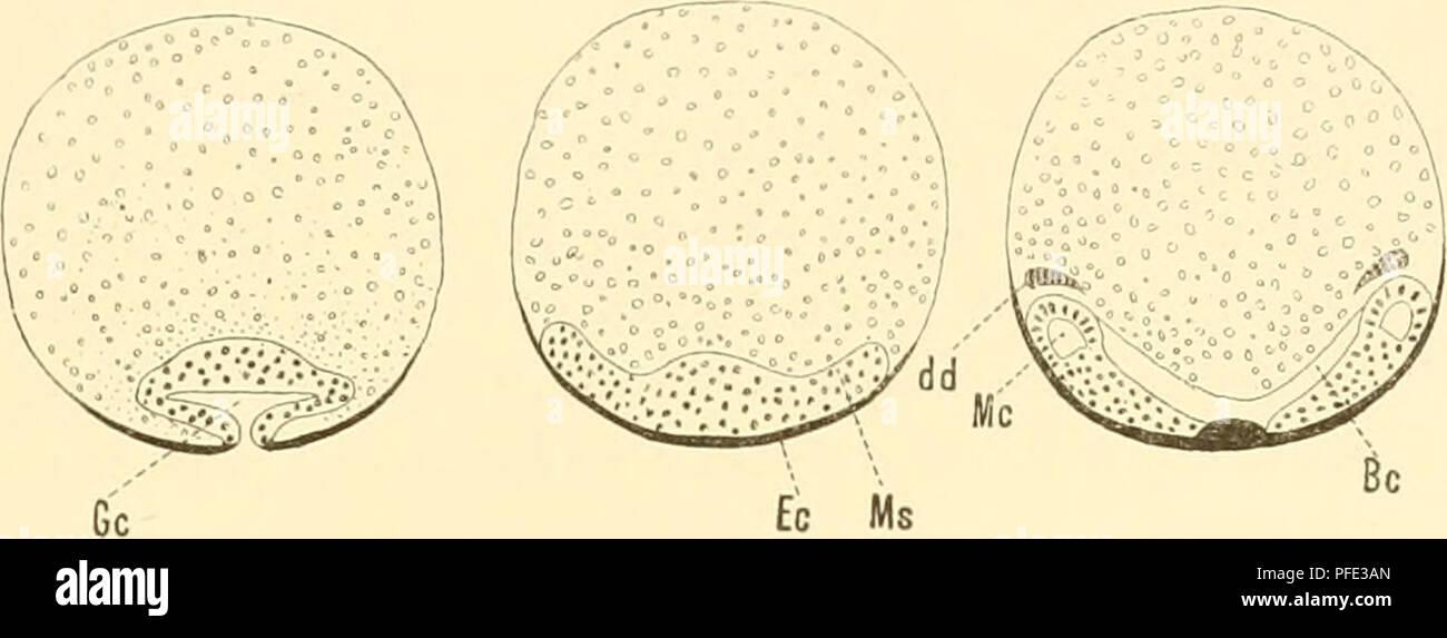 . Denkschriften der Kaiserlichen Akademie der Wissenschaften, Mathematisch-Naturwissenschaftliche Classe. Studien am Keimstreif der Inseden. 677 Eiu solcher Übergang dur einen Hölilung in die andere fehlt nach meinen Wahrnehmungen zunächst schon bei dem von C. Heider untersuchten Object. Allerdings ist es ganz richtig — und das Gleiche fand ich auch u. A. hei Mnsca (vergl. 25, Fig. 9, 10, 11 u. Fig.90—92) und Lina — dass das Gastrocoel (Gc), wie dies Holzschnitt Fig. 18 veranschaulicht, vor seinem gänzlichen Verschwinden häufig noch in Form einer sehr engen Querspalte zu erkennen ist. Auf dies - Stock Image