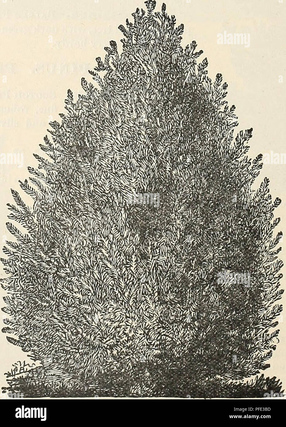 . Descriptive catalogue of the Jewell Nursery Co. Nursery stock Minnesota Catalogs; Plants, Ornamental Catalogs; Fruit Catalogs; Flowers Catalogs. 46 THE JEWELL NURSERY COMPANY'S conical outline, resembling a pillar of green; very desirable. J. Sabina. Savin Juniper.—A dwarf, spreading shrub, with trailing branches. Thrives in the poorest soils. Very suitable for rock work. This is the finest plant for low hedging that can be found for the Northwest. It is the lowest growing of all the evergreens—never attaining a greater height than four or five feet. The foliage is of a rich dark green, verj - Stock Image