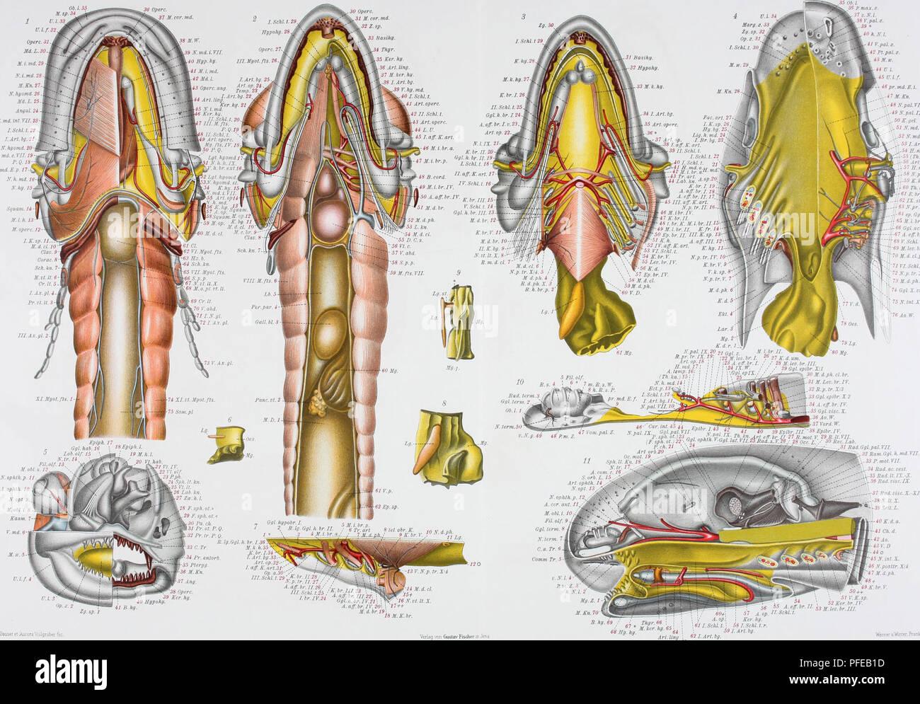 ". Denkschriften der Medicinisch-Naturwissenschaftlichen Gesellschaft zu Jena. Greil, Entwickld. Kopfes u.Gefäfssystemsv Ceratodus Forsten JEN.DENKSCHRIFTEN, Bd.IV. Semon. Forschungsreisen, Bd.i. Taf. LXIX. 35 Ob. L ' 1 P. max. z. 37o.N.l. HSV. pal. z. Operc.31. Md. £.30. M. i. md, 29 AT.i.md.28- M. Kn.il. K.hgomd.26. Md. L. 25 Angal. 24 N. md. int. VII.2. I. Schi. t. 22 I. Art.bg. 21- N. hgomd. 20 N.md.e.ril.19 F. Q.18 Hgomd.E.p.ll- K. h. md. 16 X. hg. 15 h. N. I. 41 V.jial. z. 42 Pt.pal. z. M.w. 44 U l. 45 V.l.f. - 46 pr.md.E.t. ..-Â«'"" M.Kn. _..-4HN.pal.VII. ,-49 N. pal. IX. â¢'' .50 Stock Photo"