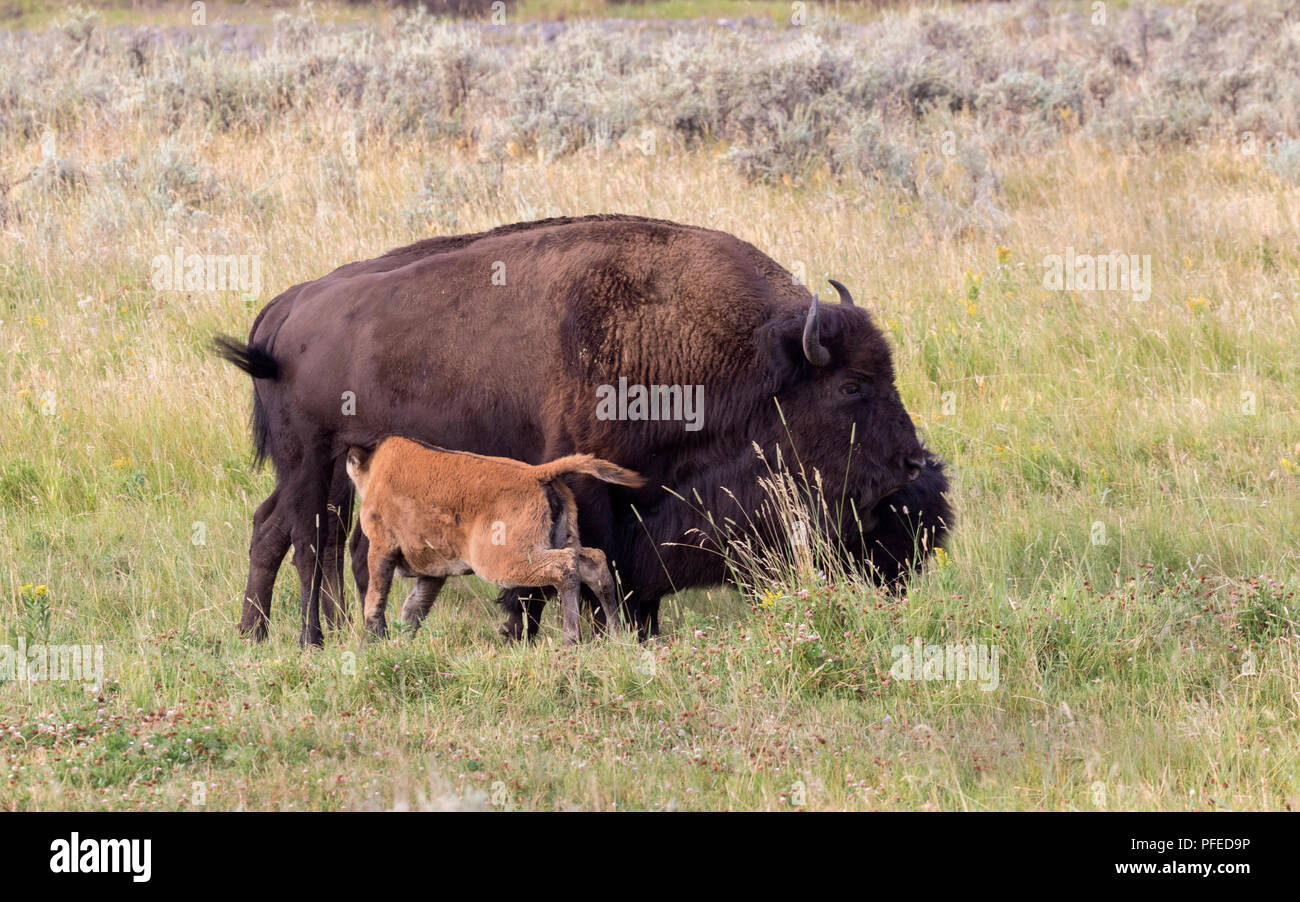 American buffalo's family at Yellowstone National Park with their calf - Stock Image