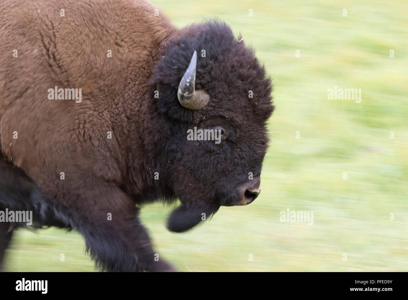 Running American Buffalo Bull (Bison bison) Close Up - Stock Image
