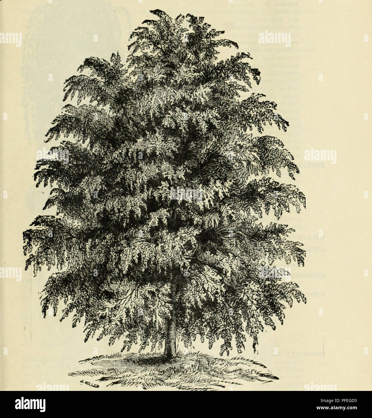 Small Ornamental Trees For Kansas: Weeping Ash Tree Stock Photos & Weeping Ash Tree Stock