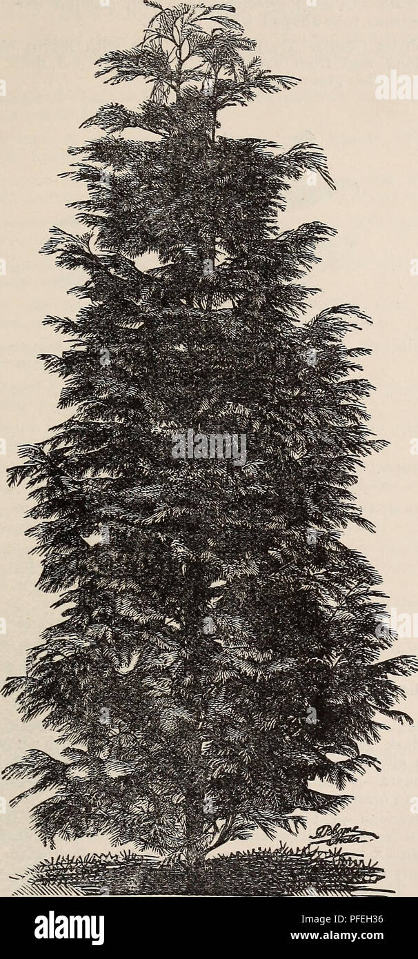 """. Descriptive catalogue of fruit trees small fruits, etc.. Nursery stock, California, Catalogs; Ornamental trees, California, Catalogs; Evergreens, California, Catalogs; Shrubs, California, Catalogs. ORNAMENTAL DEPARTMENT. 19. Lawson Cypress. Euonymus Japonica—Golden-leaved {Aurea). *' """" Golden-margined (Latifolia Aurea Marginata). """" """" Radicans-variegata—A creeping variety, with silver-edged foliage. """" """" Silver-variegated (Argentea Variegata).. Please note that these images are extracted from scanned page images that may have been digitally enhanced for readability - c Stock Photo"""