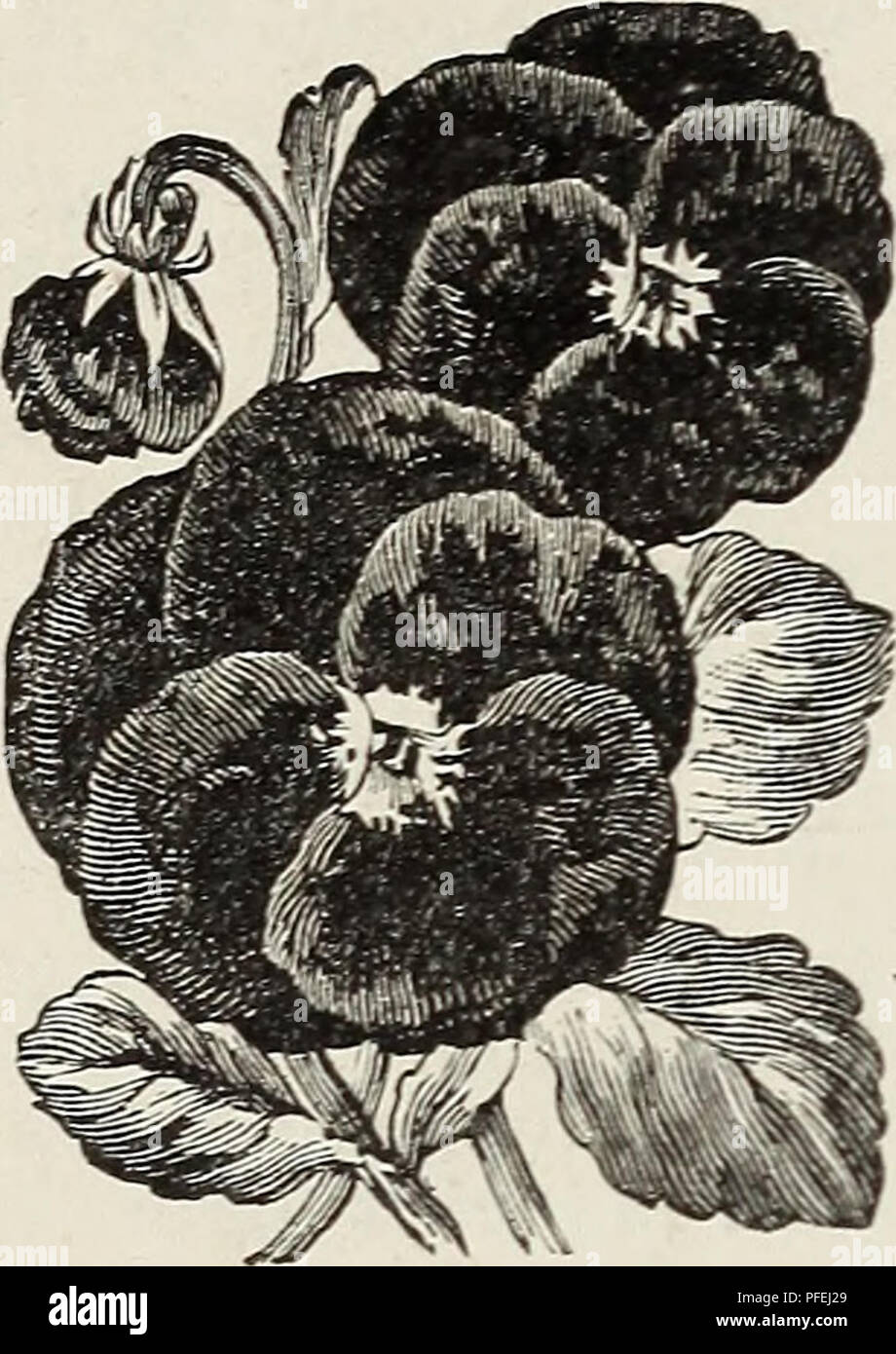 """. Descriptive catalogue of fruit and shade trees, ornamental plants, palms, bulbs, etc. : season of 1890-91. Nurseries (Horticulture) California Catalogs; Fruit Catalogs; Gardening Catalogs; Trees Catalogs. 12 CHAPPELOW'S JS'URSERY. BORDER PLANTS. Fevekfew. Pinks and other border plants, in boxes of 50 and 100. at low rates. Pansy seed, saved from m}- own show plants. 10c per packet of about 100 seeds. Ctcas EEYOLUTA(Saoo Palm)—This is one of the riXALis Posea—Foliage green and bright carmine. Easily grown, and a maguiricent ]5hint foi' decorative work. 7""""h' ea-Mi. YrcCA Aloifolia—Spanish - Stock Image"""