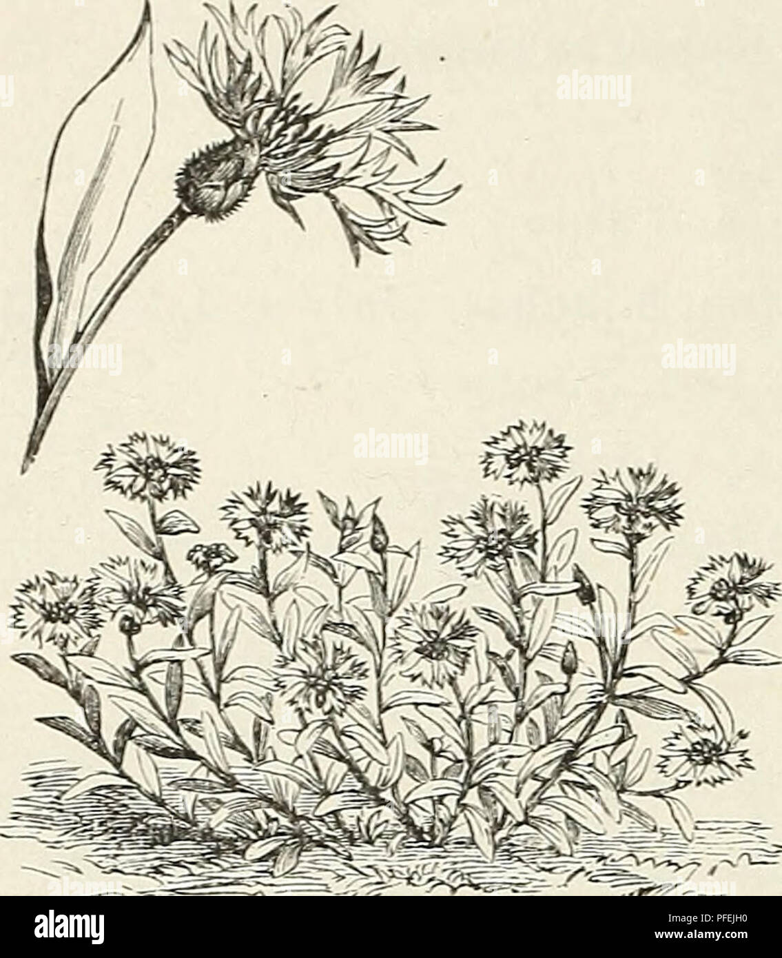 Descriptive Catalogue Of Ornamental Trees Shrubs Hardy Perennial