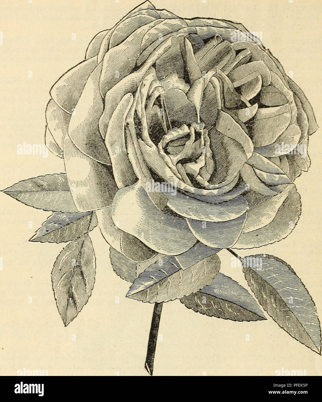 Roses For Sale Near Me >> A Descriptive Catalogue Of Select Roses Offered For Sale By