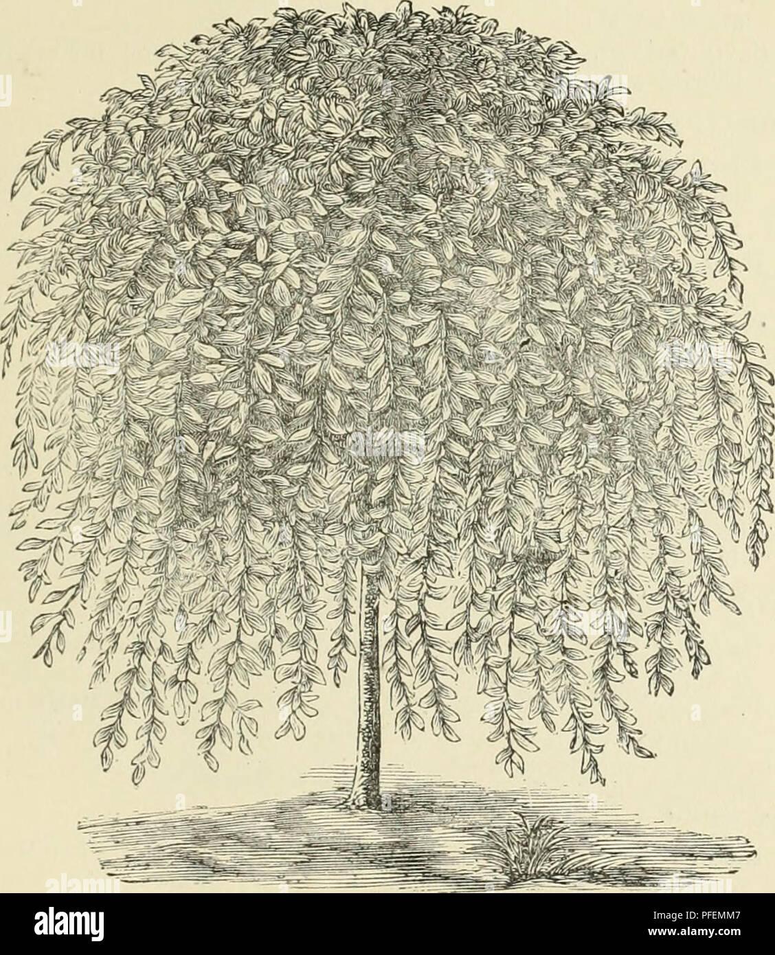 Small Ornamental Trees For Kansas: Kilmarnock Willow Stock Photos & Kilmarnock Willow Stock