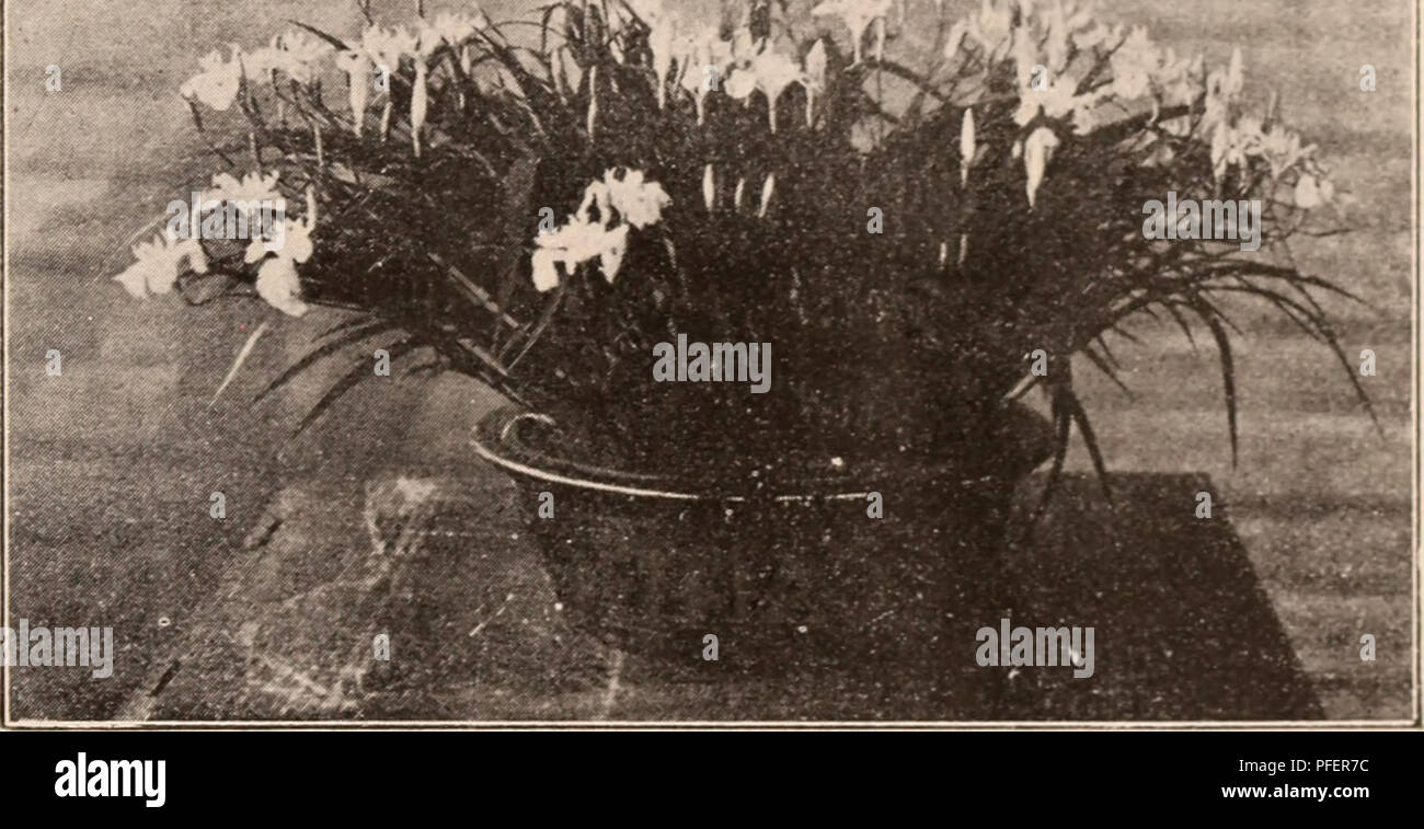 Descriptive Catalogue Of Flowering Ornamental Trees Shrubs Bulbs