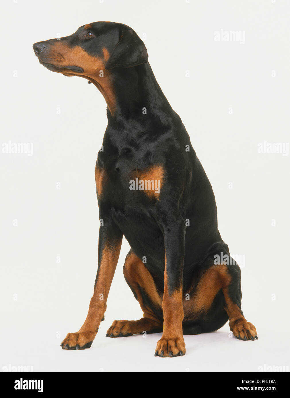 Seated Dobermann (Canis familiaris), head turned to right. - Stock Image