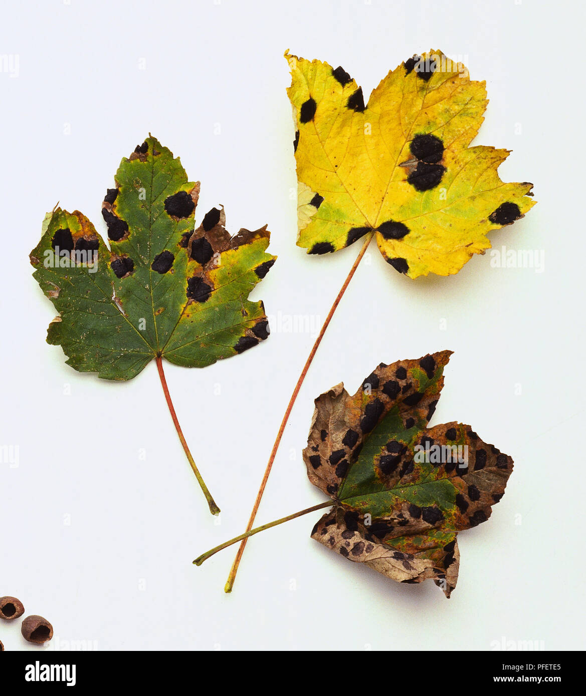Sycamore leaves having been infected by tar spot fungus each leaf showing symptoms of black spots and yellow and pale green colour - Stock Image