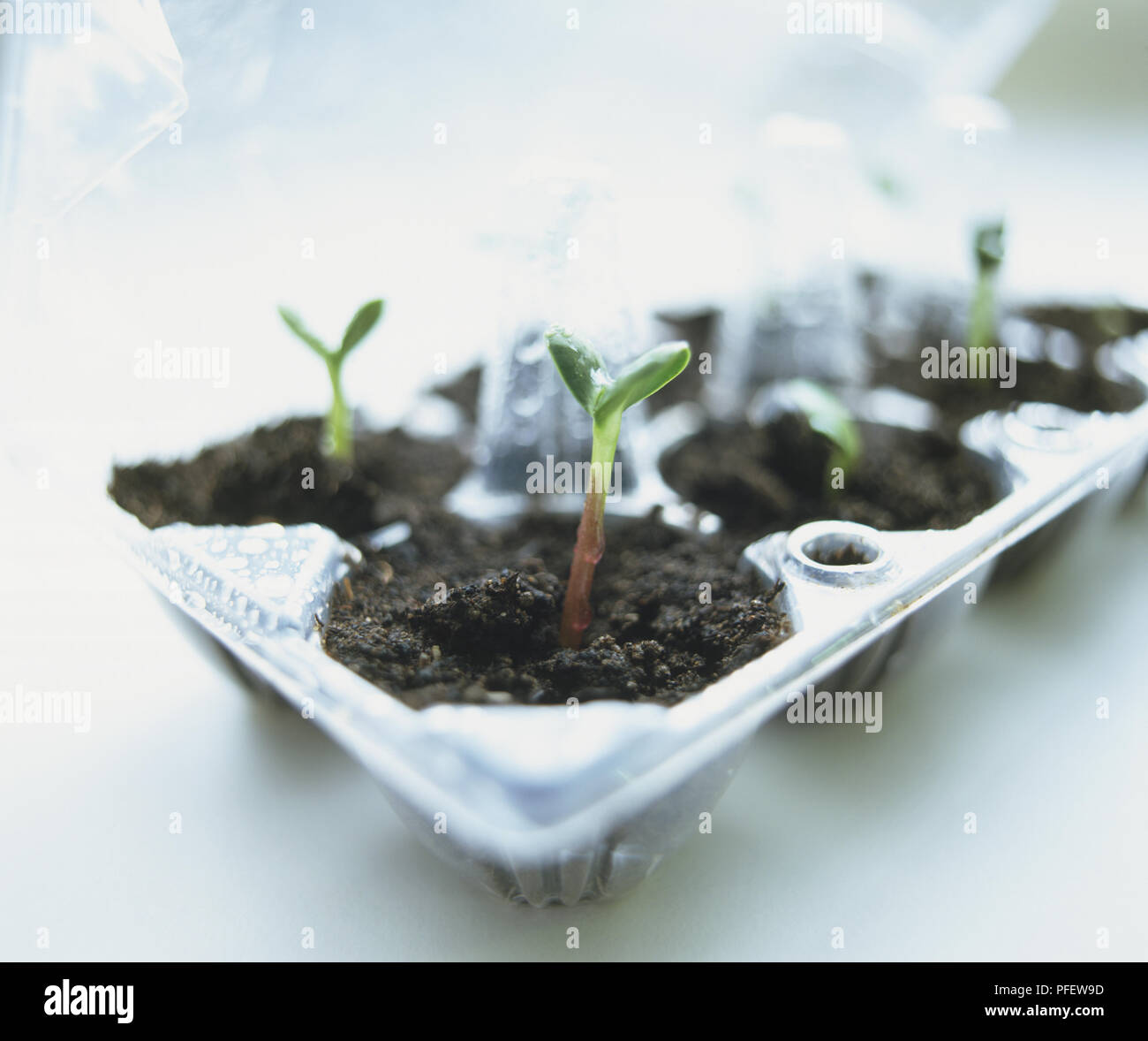 Helianthus annuus, Sunflower seedlings in wet soil in plastic egg carton Stock Photo