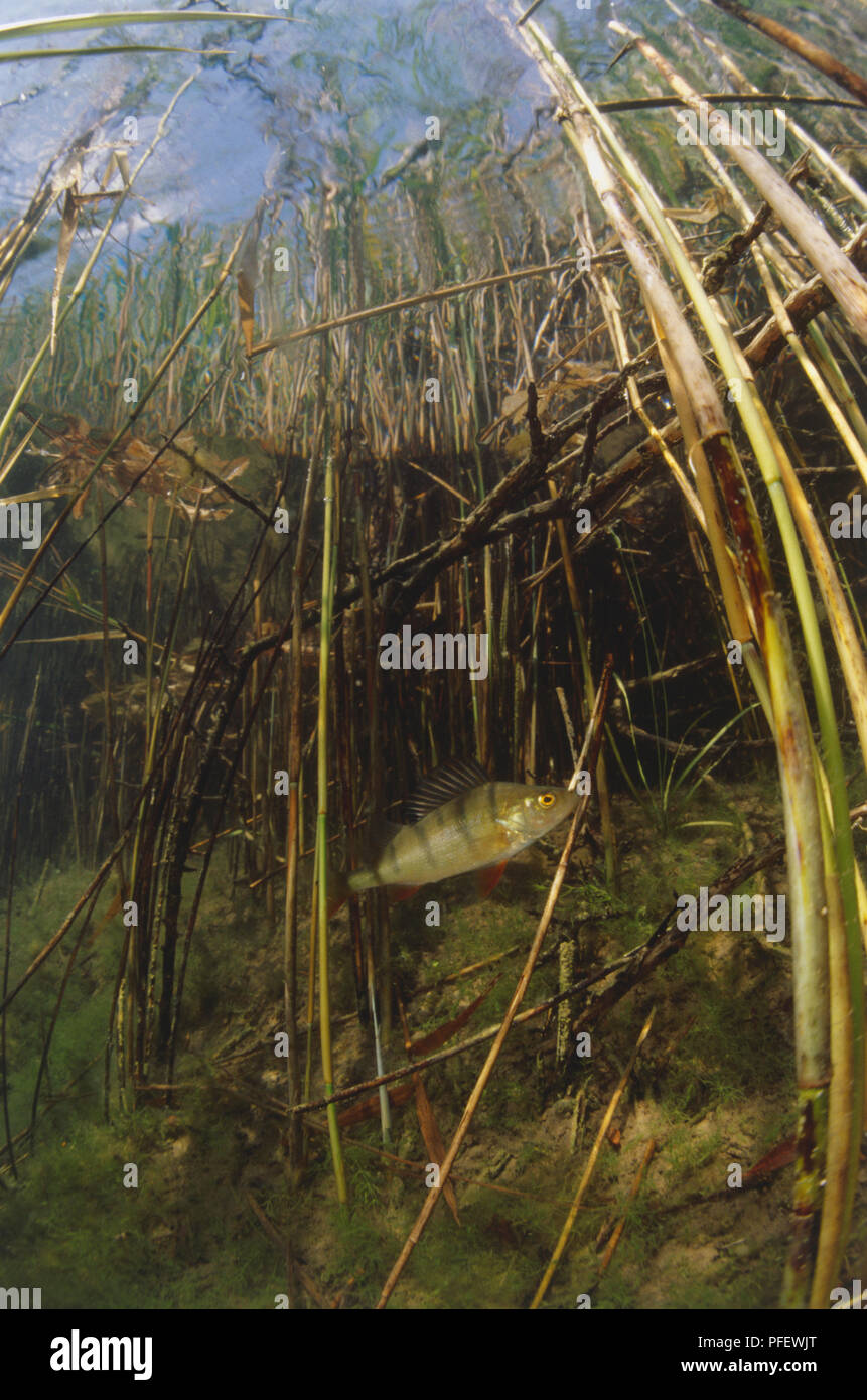 Underwater a small perch fish swims through reeds camouflaging with its environment. - Stock Image
