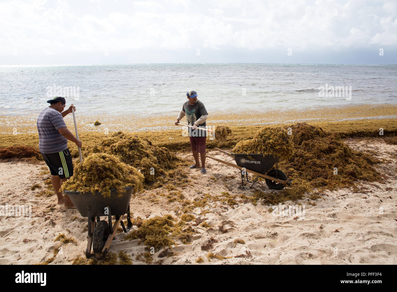 Workers remove Sargassum seaweed at Soliman Bay Beach, Tulum